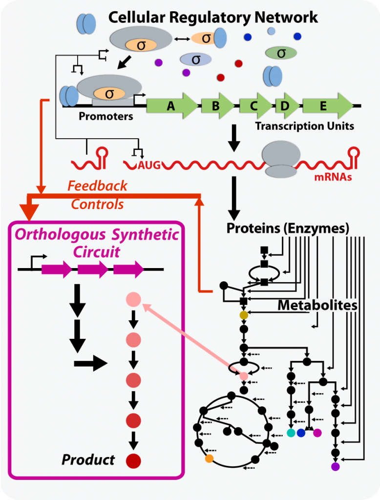 Illustration of a synthetic regulatory circuit