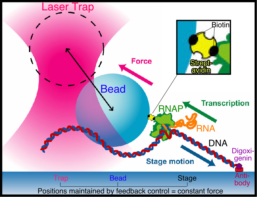 Illustration of a laser trap used to hold a single RNA polymerase molecule during transcription