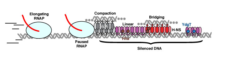 Illustration of effects of H-NS family of nucleoid associated proteins on elongating RNA polymerase