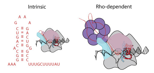 Image showing models of intrinsic and Rho-dependent termination in RNA polymerase