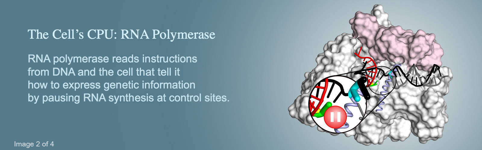Hero image #2 with an illustration of RNA polymerase, version with text that reads: The Cell's CPU: RNA Polymerase; RNA polymerase reads instructions from DNA and the cell that tell it how to express genetic information by pausing RNA synthesis at control sites.