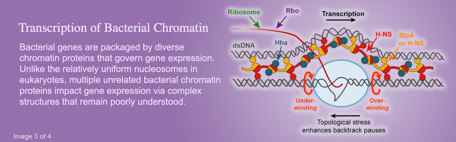 Hero image #3 featuring an illustration of chromatin, version with text that reads: Transcription of Bacterial Chromatin; Bacterial genes are packaged by diverse chromatin proteins that govern gene expression. Unlike the relatively uniform nucleosomes in eukaryotes, multiple unrelated bacterial chromatin proteins impact gene expression via complex structures that remain poorly understood.