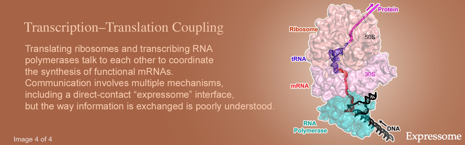 "Hero image #4 featuring an illustration of the expressome, version with text that reads: Translating ribosomes and transcribing RNA polymerases talk to each other to coordinate the synthesis of functional mRNAs. Communication involves multiple mechanisms, including a direct-contact ""expressome"" interface, but the way information is exchanged is poorly understood."